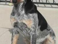 Bluetick Coonhound - Amara - Medium - Young - Female -