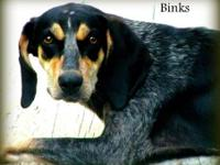 Bluetick Coonhound - Binks - Large - Adult - Female -