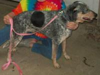 Bluetick Coonhound - Blue Belle - Large - Adult -