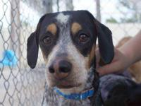 Bluetick Coonhound - Buster - Medium - Adult - Male -