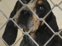 Bluetick Coonhound - Chloe - Large - Adult - Female -