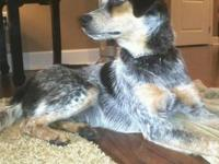 Bluetick Coonhound - Dizzy - Large - Young - Male -