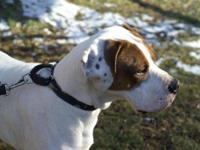 Bluetick Coonhound - Dutchess - Large - Young - Female
