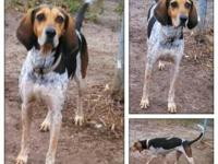 Bluetick Coonhound - Eeyoor - Large - Adult - Male -