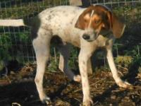 Bluetick Coonhound - Freckles** - Medium - Young - Male