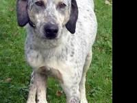Bluetick Coonhound - Griffin-adopted - Large - Adult -