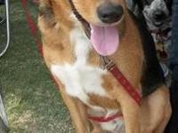 Bluetick Coonhound - Jackson - Large - Adult - Male -