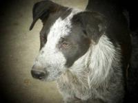 Bluetick Coonhound - Justice - Medium - Young - Male -