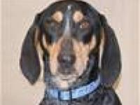 Bluetick Coonhound - Lacy - Medium - Adult - Female -