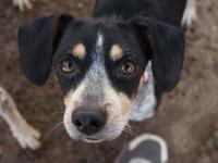 Bluetick Coonhound - Lucy - Medium - Adult - Female -
