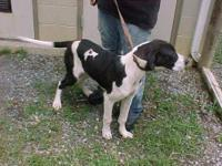 Bluetick Coonhound - Marly - Large - Young - Female -