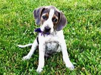 Gracie is an absolutely cute female Bluetick Coonhound