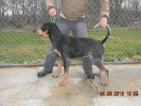 THIS IS A FEMALE AKC & UKC REGISTERD CHANPIONS IN HUNT