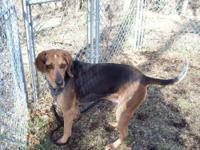 Bluetick Coonhound - Ranger Griffin - Large - Adult -