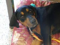 Bluetick Coonhound - Sissy - Medium - Young - Female -
