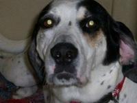 Bluetick Coonhound - Smokey - Large - Adult - Male -