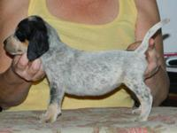 Bluetick Coonhound - Sunshine - Large - Young - Female