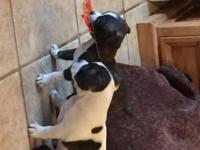 Adorable Brindle and white (rare) Bo-Chi pups available