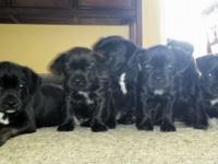 "Beautiful ""Bo-dach"" puppies. 4 males & 2 females. 8"