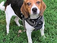 My story Bo-Duke is a small 20#, Tricolored Beagle that