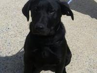 Bo is a 6 mo old 38 lb Lab mix. He is super sweet and