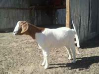 Boar goats for sale 1st pic 1yr old female asking 100