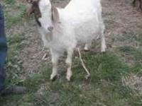 we have 2 boar billy goats for sale. they are 1 years