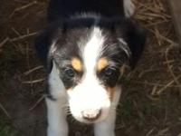4 boarder collie pups looking for forever home. father
