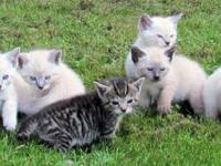 Kittens ready the first week in September! Please visit