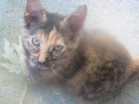 2 female torty calicos, mom is a flame point, dad is a