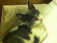 My story Bobbles 8 week old kitty rescued from NYACC...