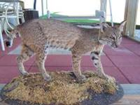 You are looking at a bobcat mount. Mount is in