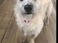 Bobo's story COURTESY POST! Bobo, a Cairn Terrier mix 4