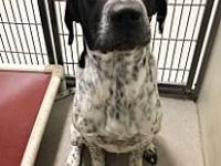 My story Bobo is a 2-3 yr old Blue tick coonhound mix.