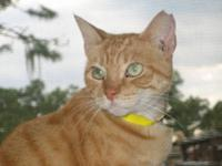 Bobtail - Angel - Medium - Adult - Female - Cat