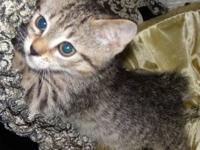 Bobtail - Babs - Medium - Young - Female - Cat My name