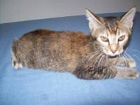 Bobtail - Bobbie Cat - Small - Young - Female - Cat