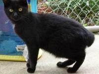 Bobtail - Bobby 11498 - Small - Baby - Male - Cat I