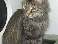 Bobtail - Emma - Medium - Young - Female - Cat My