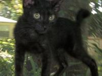 Bobtail - Loki - Large - Young - Male - Cat Est DOB
