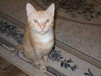 Bobtail - Marge - Small - Young - Female - Cat Marge is
