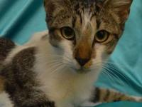 Bobtail - Mollie - Medium - Young - Female - Cat Mollie