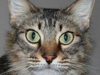 Bobtail - Spirit - Medium - Adult - Female - Cat Our