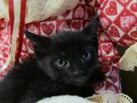 Bobtail - Yoko Ono - Small - Baby - Female - Cat