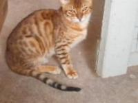 Flashy red-brown spotted 6 month old purebred Bengal