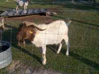 big boer billy for sale 300.00 obo white with red head