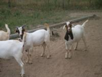 3 Boer cross billy goats for sale. Approximately 6