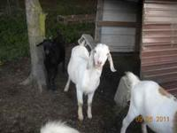 Have several for sale. Majority are boer/nubian 2 year