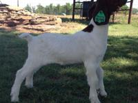 50% may born bottle doe for for sale. Sired by James