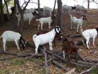 165 goats to choose from, so obviously price is